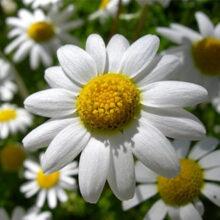 Extracto de flor de Camomila