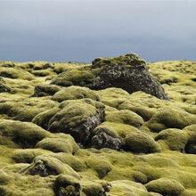 Musgo islandés